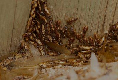 Affordable Termite Control in Orange, CA Pest & Termite Control